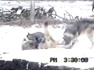 Two dog couples fucking in front of one another